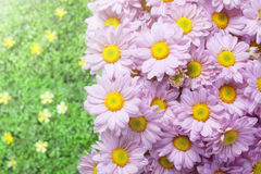 Pink chrysanthemum in the garden with flare background Stock Images