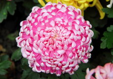 Pink chrysanthemum. On green background in detail stock photography