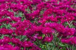 Pink chrysanthemum. Royalty Free Stock Image