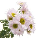 Pink chrysanthemum isolated royalty free stock photos