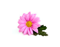 Pink chrysanthemum on a branch Stock Photo