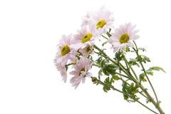 Pink chrysanthemum isolated royalty free stock image