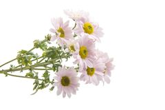 Pink chrysanthemum isolated royalty free stock photography