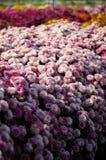 Pink chrysanthemum Royalty Free Stock Image