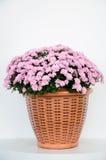Pink chrysanthemum Royalty Free Stock Photos
