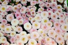 Pink chrysanthemum Royalty Free Stock Images