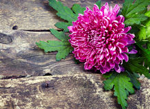 Pink chrysanthemum on old wooden background Stock Image