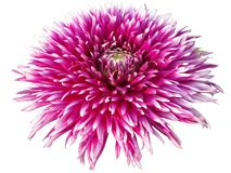 Pink chrysanthemum royalty free stock image