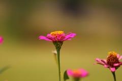 Pink Chrysanthemum in orange background royalty free stock image