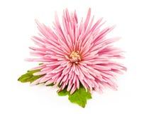 Pink Chrysanthemum Over White Royalty Free Stock Photo