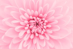 Pink chrysanthemum Royalty Free Stock Images