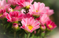 Pink chrysanthemum petals Stock Images