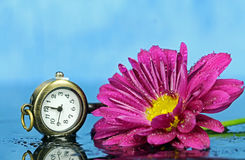 A pink Chrysanthemum. With a pocket watch key Royalty Free Stock Image