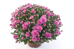 Pink Chrysanthemum Potted Stock Image