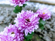 Pink chrysanthemum in the spring Stock Photography