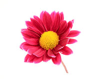 Pink chrysanthemum on the stalk. Stock Photography