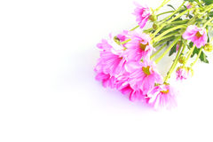 Pink chrysanthemum - Stock Image Royalty Free Stock Images
