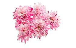 Pink chrysanthemum Royalty Free Stock Photo