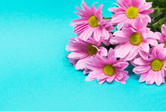 Pink chrysanthemum with yellow core on aqua background Royalty Free Stock Images