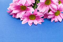 Pink chrysanthemum with yellow core on blue background Stock Photo