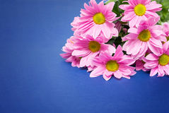 Pink chrysanthemum with yellow core on blue background Royalty Free Stock Photography