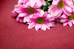 Pink chrysanthemum with yellow core on red background Stock Images