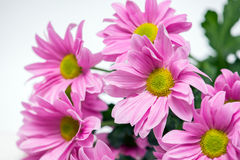 Pink chrysanthemum with yellow core Stock Image