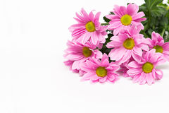 Pink chrysanthemum with yellow core on white background Royalty Free Stock Image