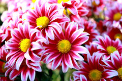 Pink chrysanthemums. Beautiful pink chrysanthemums flowers background Stock Photography