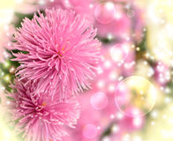 Pink chrysanthemums. In a botanical garden on a yellow background royalty free stock photo