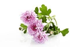 Pink chrysanthemums Royalty Free Stock Photos
