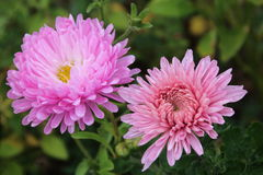Pink Chrysanthemums and aster Stock Photo