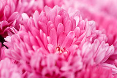 Pink chrysanthemums Stock Photo