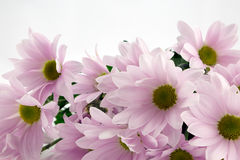 Pink Chrysanthemums. Beautiful bouquet of pink chrysanthemum flowers Stock Photography