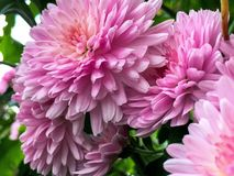 Pink chrysanthemums in Bloom. Pink chrysanthemums in full bloom fill frame with bits of greenery in background Stock Photos