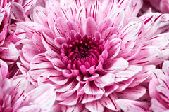 Pink chrysanthemums Royalty Free Stock Images
