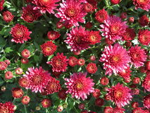 Pink chrysanthemums. Bush in the sunlight Royalty Free Stock Photos