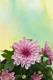 Pink chrysanthemums. Closeup of pink chrysanthemums on watercolor background Stock Images