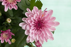 Pink chrysanthemums. Closeup of pink chrysanthemums on watercolor background Stock Photo