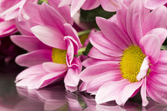 Pink chrysanthemums with details and reflexions Stock Images
