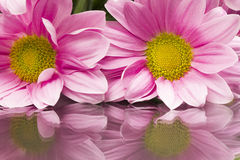 Pink chrysanthemums with details and reflexions Stock Image