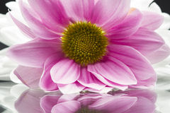 Pink chrysanthemums with details and reflexions Royalty Free Stock Images