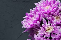 Pink chrysanthemums on gray Royalty Free Stock Photography