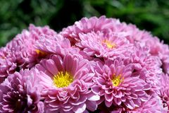 Pink chrysanthemums with green background Stock Photos