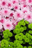 Pink chrysanthemums with green plants Royalty Free Stock Images