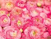 Pink Chrysanthemums Stock Photos