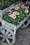 Pink Chrysanthemums On Wooden Planter Royalty Free Stock Images