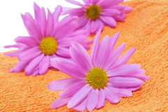 Pink chrysanthemums on an orange towel Stock Photos