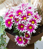 Pink chrysanthemums in a pot Royalty Free Stock Photography