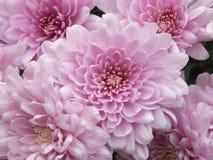 Pink chrysanthemums Stock Photos